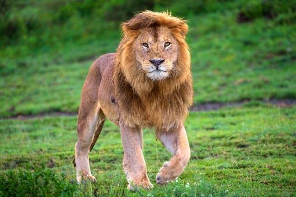 Coronavirus zoo updates: जयपुर के चिड़ियाघर का शेर कोरोना संक्रमित, बरेली लैब ने की जांच में पुष्टि