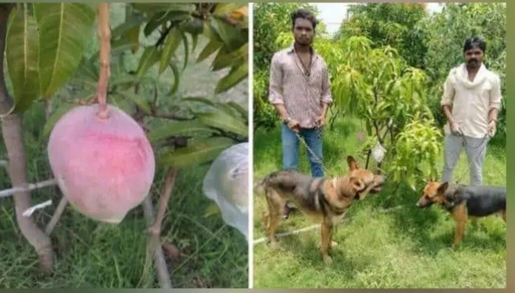 मियांजाकी आमों की रखवाली के लिए एमपी में कपिल ने तैनात किए 4 गार्ड वह 6 कुत्ते
